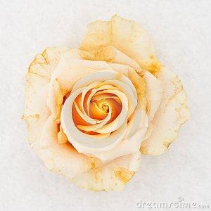 frozen-white-rose-13885151 (1)