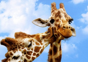 adorable-clouds-cute-giraffe-giraffes-Favim.com-423429[1]