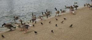 ducks and birds 1