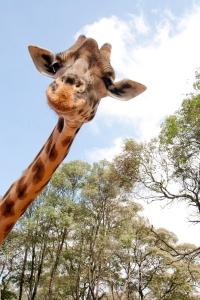 Curious_Giraffe